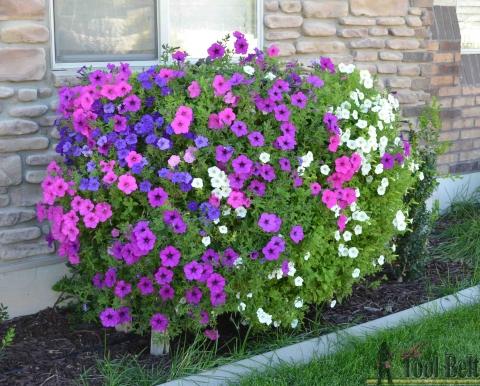 7 sept 22 wave petunia pallet flower box